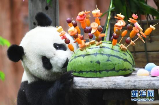 """(社会)(2)吉林:大熊猫""""初心""""与""""牧云""""迎来4岁生日"""