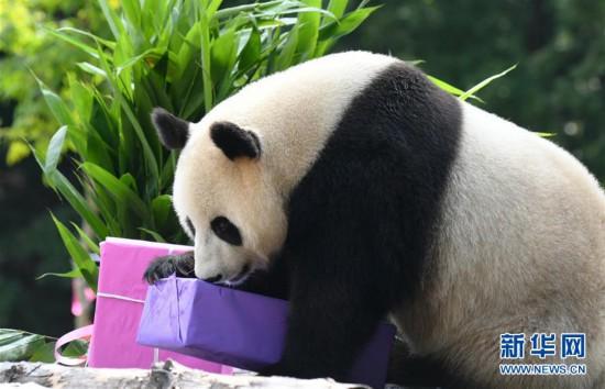 """(社会)(5)吉林:大熊猫""""初心""""与""""牧云""""迎来4岁生日"""