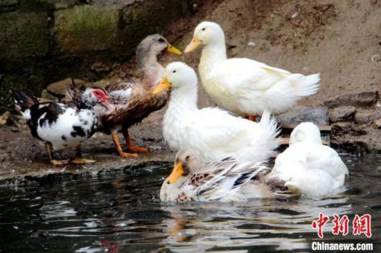 图为亚东边检站引进的家禽。 王东东 摄