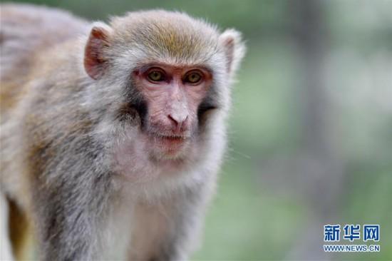 (环境)(3)雅鲁藏布江畔藏猕猴