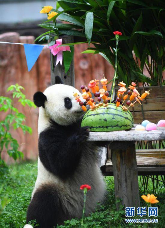 """(社会)(6)吉林:大熊猫""""初心""""与""""牧云""""迎来4岁生日"""