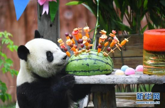 """(社会)(4)吉林:大熊猫""""初心""""与""""牧云""""迎来4岁生日"""