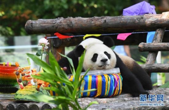 """(社会)(3)吉林:大熊猫""""初心""""与""""牧云""""迎来4岁生日"""