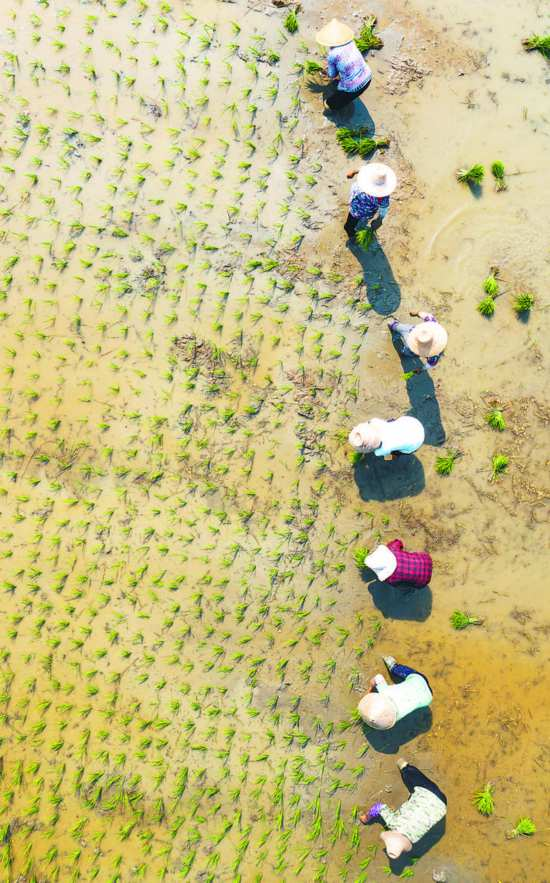 8月5日,在庐江县白湖镇裴岗社区,洪水退后的农民们正冒着高温抢栽晚稻。当地政府免费提供种子、化肥和农作物籽苗,帮助群众开展生产自救,减少经济损失。   左学长 记者 张大岗 摄