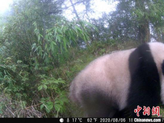 赤外線監視カメラが捉えたジャイアントパンダ。画像はジャイアントパンダ国家公園管理局が提供