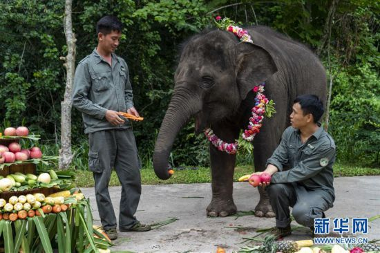 """(社会)(2)云南西双版纳:大象""""羊妞""""五岁啦!"""