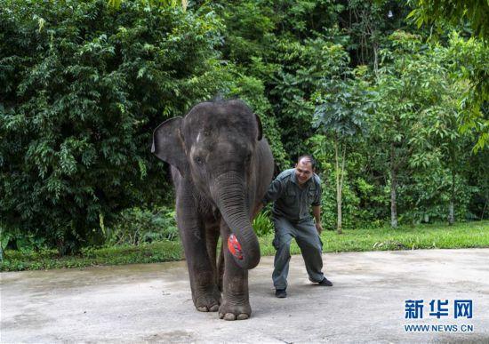 """(社会)(1)云南西双版纳:大象""""羊妞""""五岁啦!"""