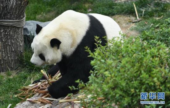 (环境)(2)青海西宁:大熊猫乐享高原生活