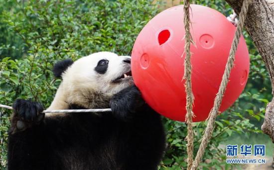 (环境)(9)青海西宁:大熊猫乐享高原生活