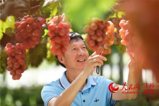 """南通市通州區葡萄種植大戶曹海忠和他的""""奇園""""葡萄。圖:吳欣欣"""