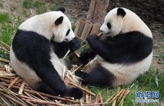 (环境)(4)青海西宁:大熊猫乐享高原生活
