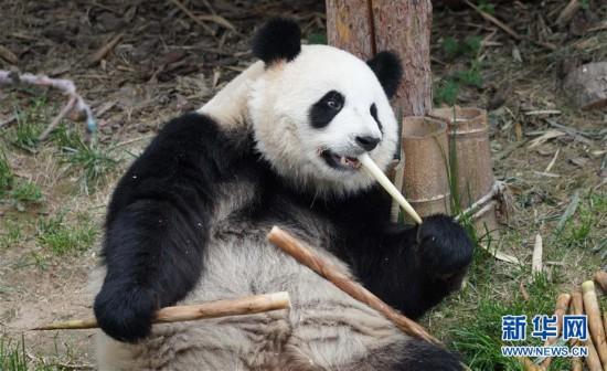 (环境)(1)青海西宁:大熊猫乐享高原生活