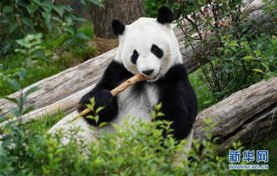(环境)(8)青海西宁:大熊猫乐享高原生活