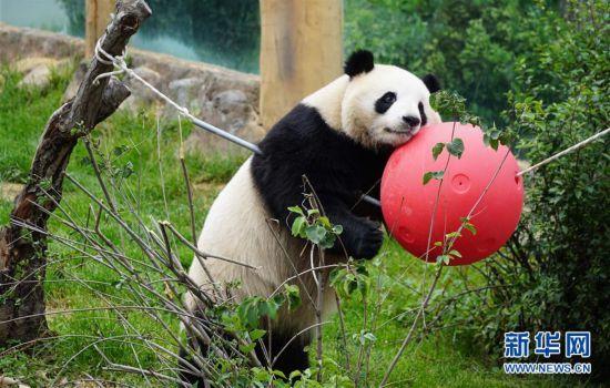 (环境)(7)青海西宁:大熊猫乐享高原生活
