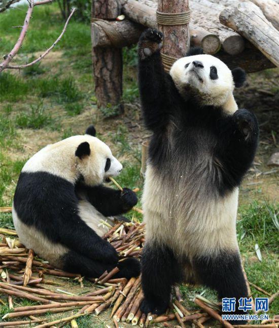 (环境)(3)青海西宁:大熊猫乐享高原生活