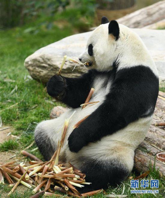 (环境)(10)青海西宁:大熊猫乐享高原生活