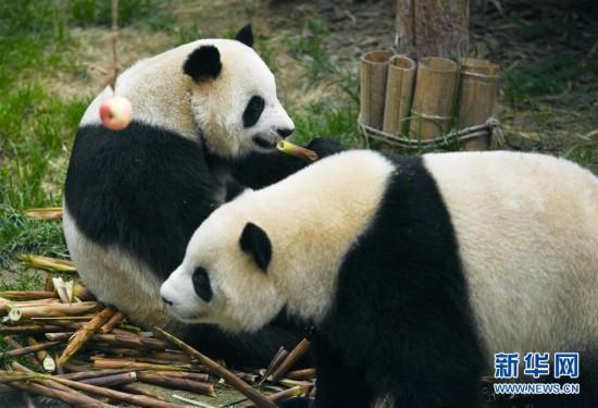 (环境)(5)青海西宁:大熊猫乐享高原生活