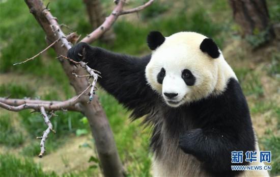 (环境)(6)青海西宁:大熊猫乐享高原生活