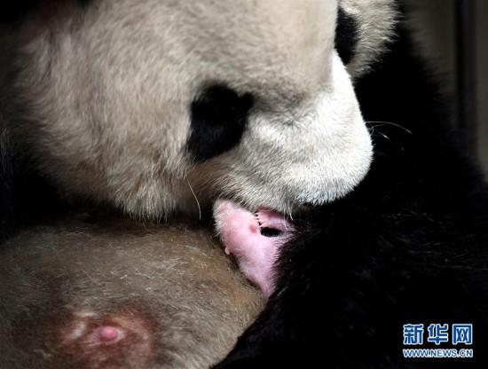 """(环境)(3)2020年首只秦岭大熊猫宝宝诞生 实现""""四世同堂"""""""