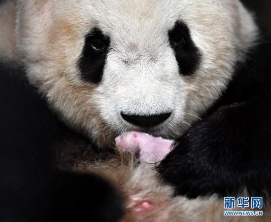 """(环境)(2)2020年首只秦岭大熊猫宝宝诞生 实现""""四世同堂"""""""