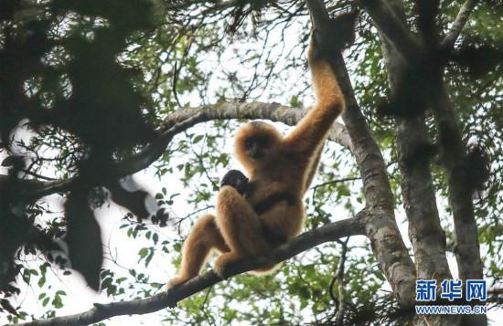 (图文互动)(1)海南长臂猿增添新家庭 栖息地扩大