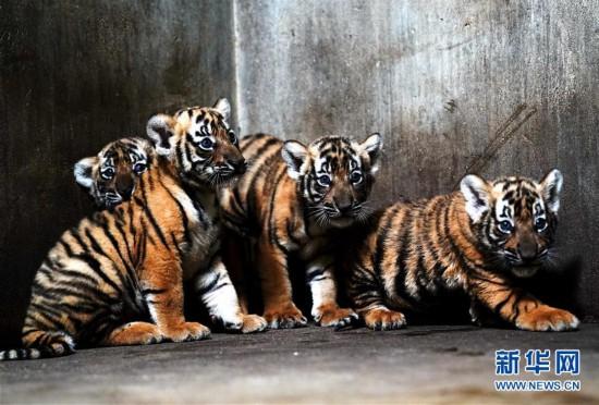 (新华视界)(1)上海动物园为华南虎宝宝征名