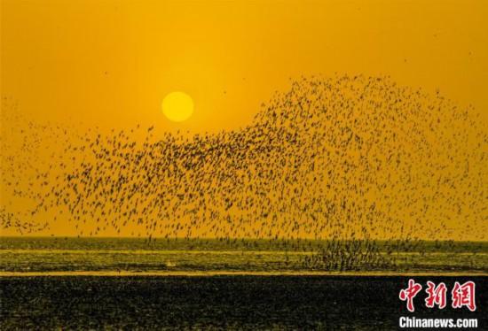 夕陽を背景にした「鳥の波」(撮影・鄧世礼)