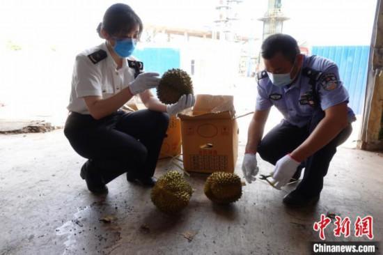 图为执法人员在对销毁榴莲进行检查。 苏杭 摄