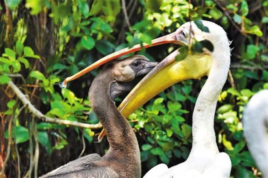 海立方游戏官网野生动物园成功孵化白鹈鹕