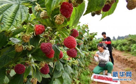 (经济)(1)河北迁安:特色种植促农增收