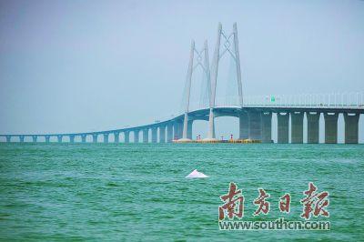 """港珠澳大桥邂逅""""海上大熊猫"""""""