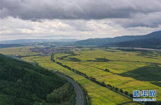 (经济)(2)吉林延边:稻谷飘香 收获在望