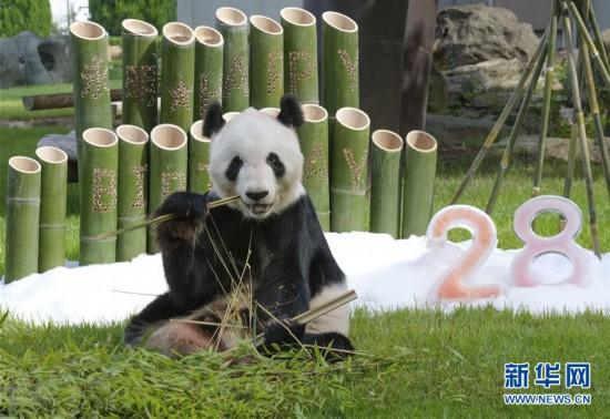 """(国际)旅日大熊猫""""永明""""迎来28岁生日"""
