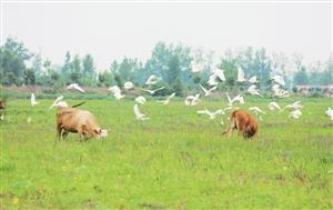 宿迁沭阳:白鹭在田间翱翔嬉戏