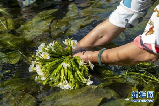大理洱源:生态海菜助民增收