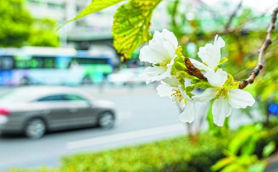 大雨和高溫 讓三月櫻花九月開