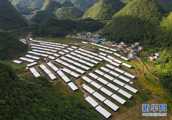 云南西畴:巴西菇助村民增收