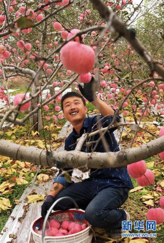 山西吉县苹果喜获丰收