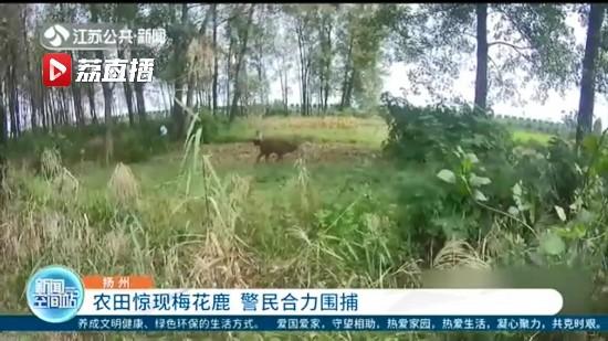 揚州一農田驚現梅花鹿 警民合力圍捕成功營救