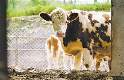 固原:优质肉牛走向全国
