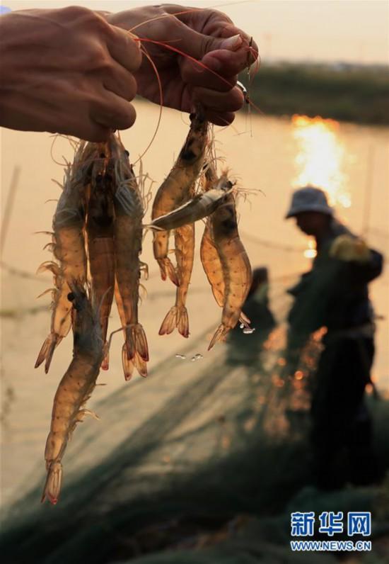 (社会)(1)河北丰南:鱼跃虾跳话丰收