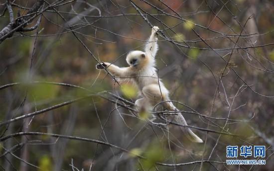 (环境)(1)神农架:秋日猴趣