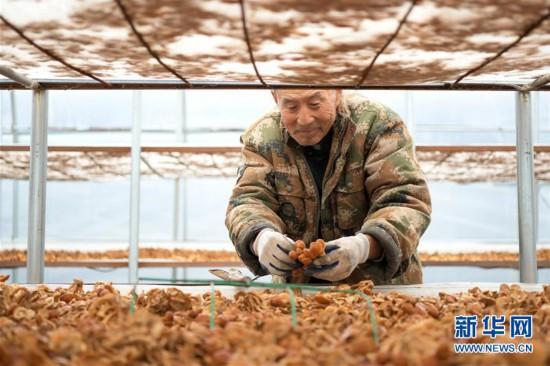 (脱贫攻坚)(1)黑龙江明水:食用菌产业助农脱贫增收