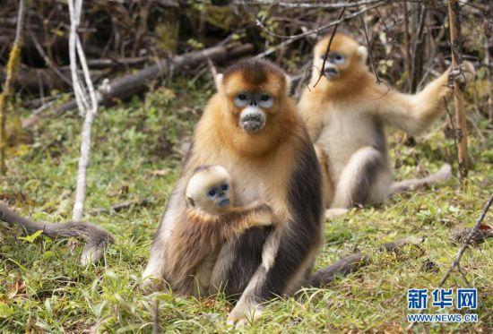 (环境)(2)神农架:秋日猴趣