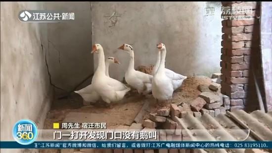 宿迁市民丢失6只大鹅报警 民警:被黄鼠狼撵跑的