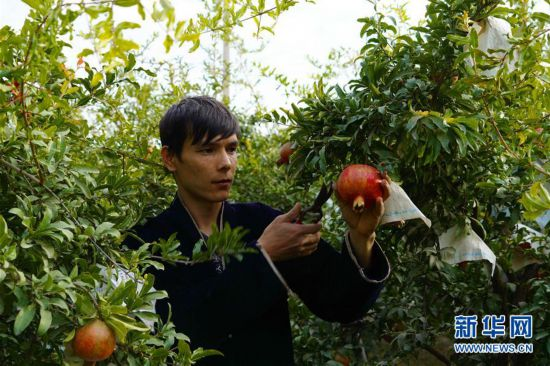乌兹别克斯坦:金秋时节石榴红