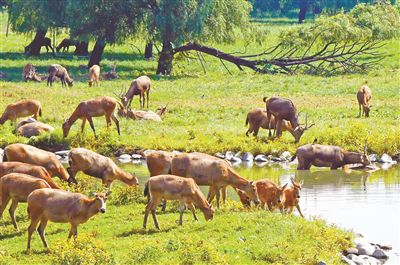 北京麋鹿生态实验中心计划向河北张家口洋河湿地赠送70只麋鹿