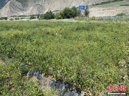 """【新时代·边疆行】小小辣椒,如何成为西藏卓村村民的""""摇钱树""""?"""
