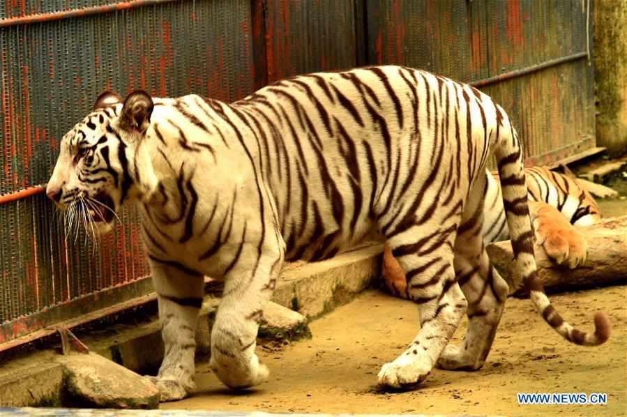 White albino Bengal tiger seen in Chittagong, Bangladesh