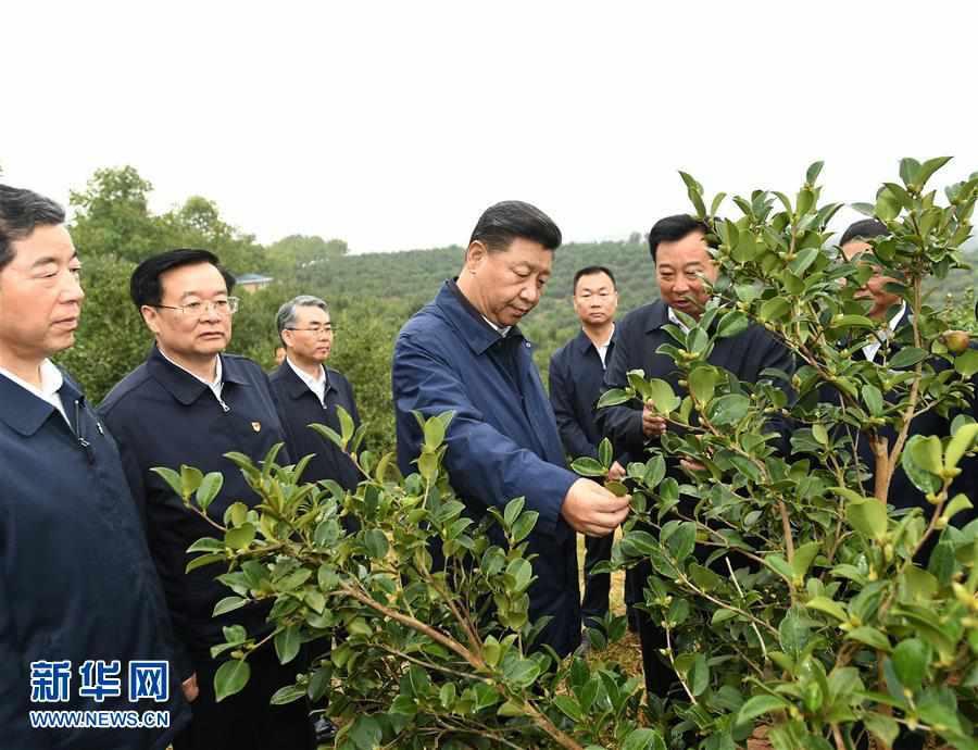 (XHDW)(1)习近平在光山县深入油茶园和农村考察调研